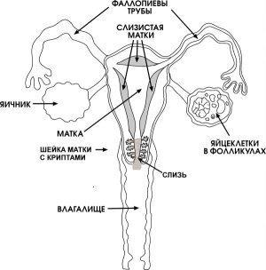 skolko-zhivut-spermatozoidi-vne-zhenskogo-organizma